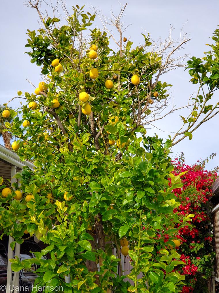 Sky Valley Desert Hot Springs CA, lemon tree