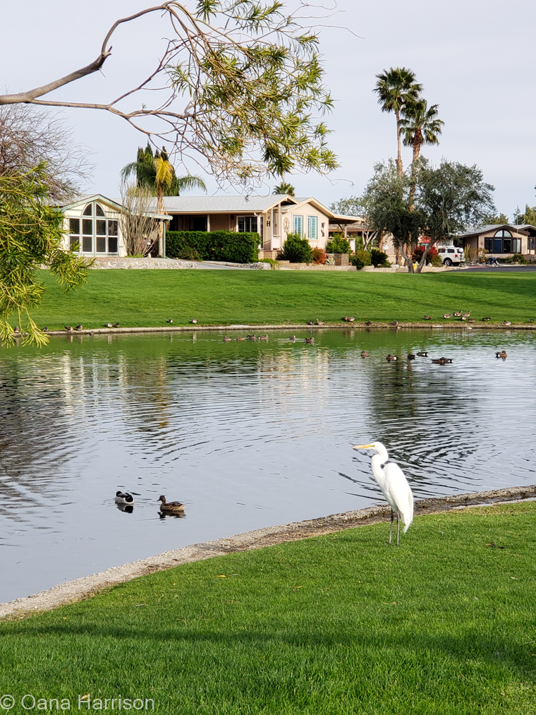 Sky Valley Desert Hot Springs CA, ducks and while heron at the lake