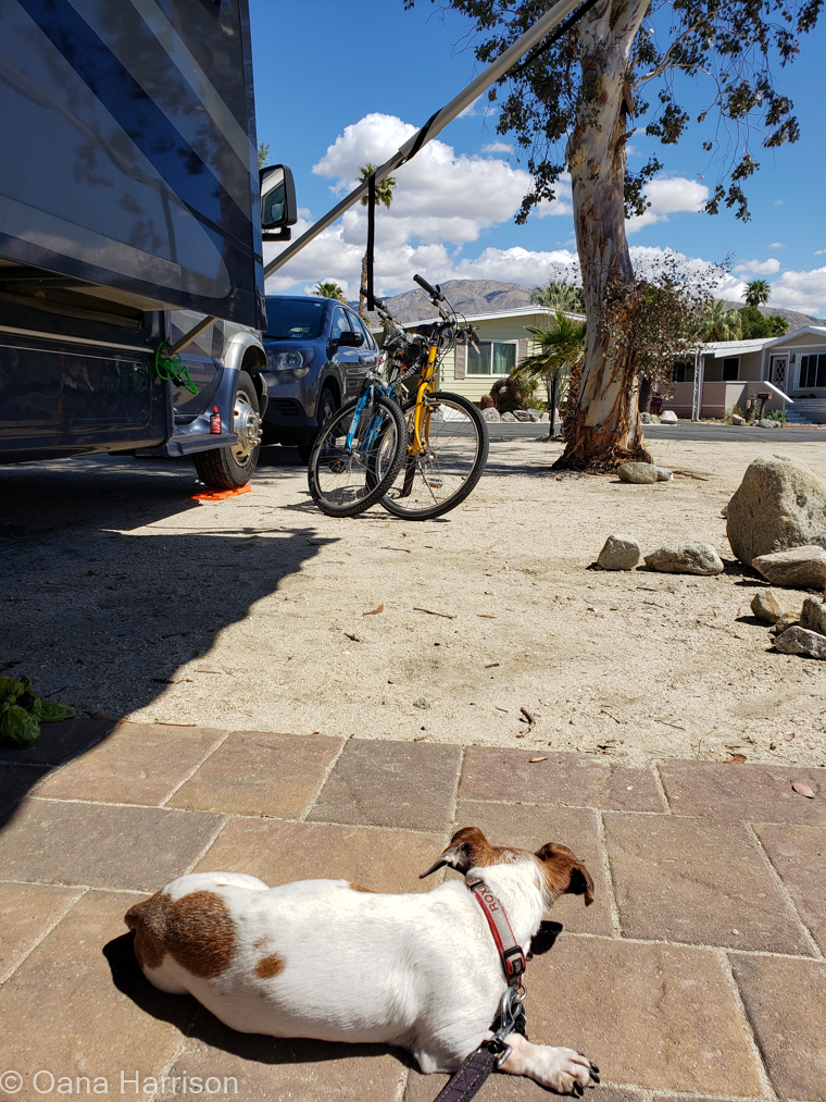 Sky Valley Desert Hot Springs CA, Roxie dog looking at the bikes