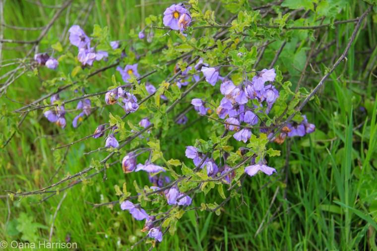 Purple flowers, California