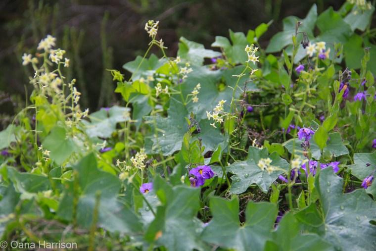 Purple and white flowers, California