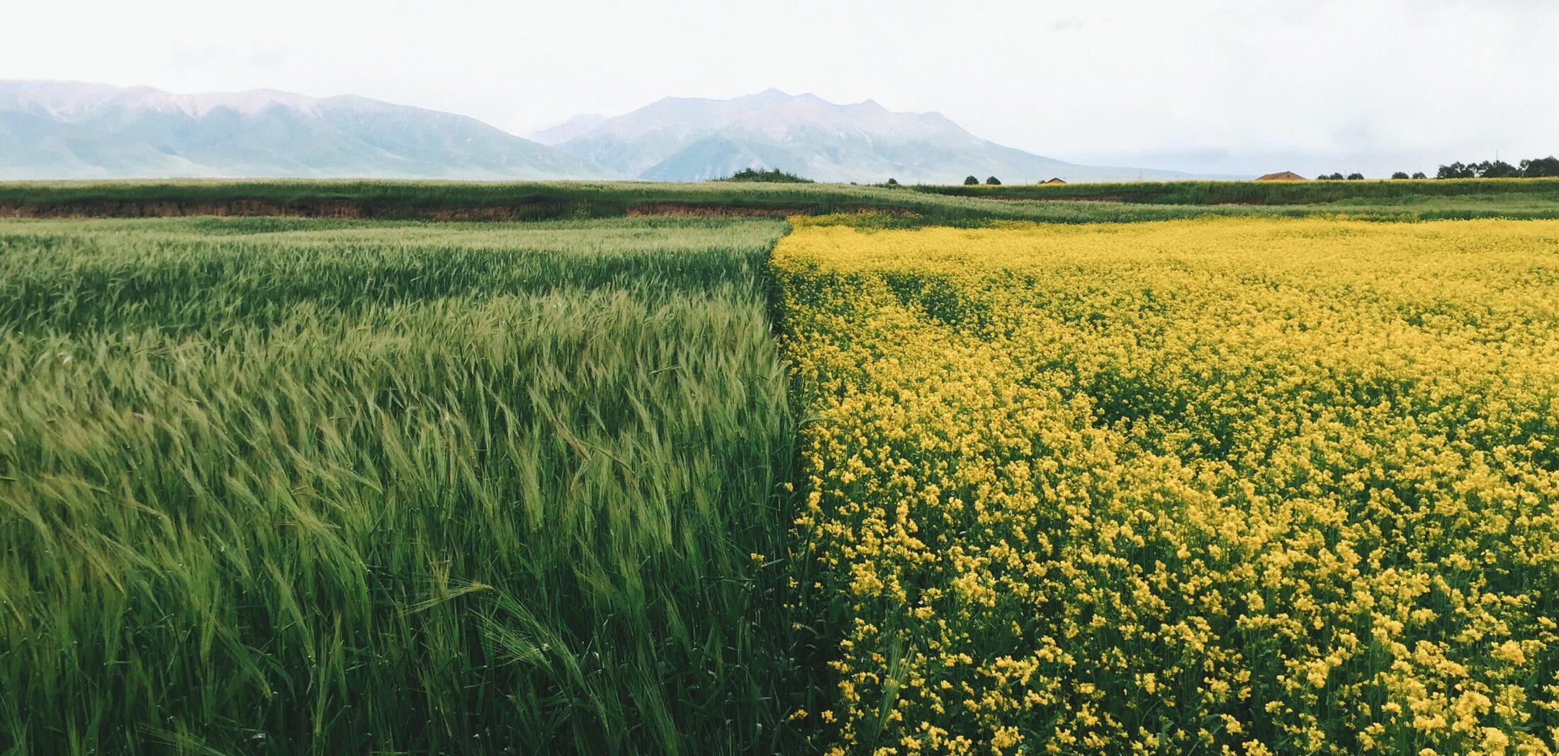 farm-insurance-crop-insurance-hemp insurance, hemp crop insurance