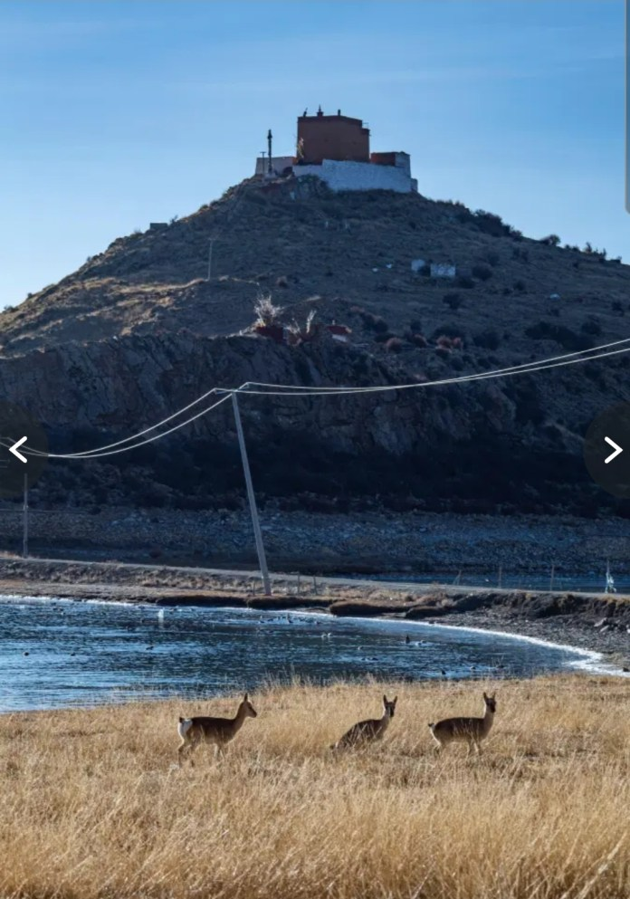 Tibetan antelopes seen idyllically scampering below the Rituo Temple. Credit: Alamy