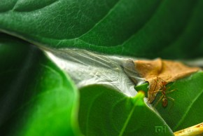 Ants larvae have special glands that produces strong silk, unlike the adults who don't produce silk.