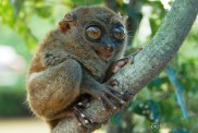 The tarsier.