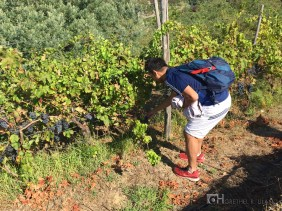 My friend just can't help picking grapes once more.