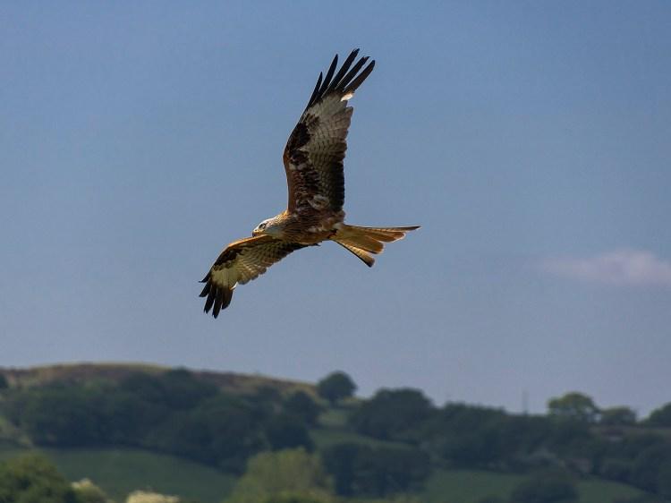 Birds of Prey Flying Display