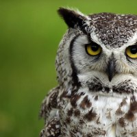 Great Horned Owl Lifespan - How Long Do Great Horned Owls Live?