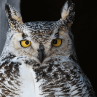 Great Horned Owl Size – How Big is a Great Horned Owl?