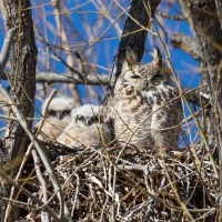 Great Horned Owl Nest – Interesting Facts & Information
