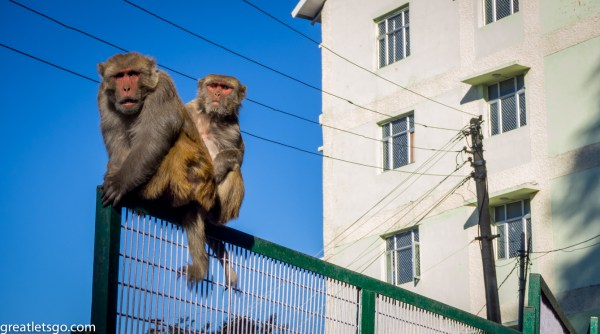 shimla-monkeys-226113