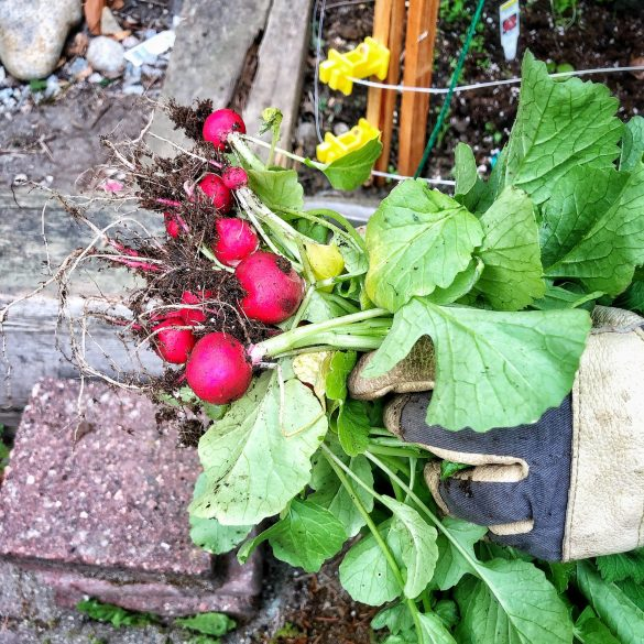 Radishes from the Garden
