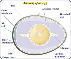 Buy quality fowl eggs in Buea Cameroon
