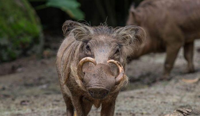 babirusa hewan langka indonesia
