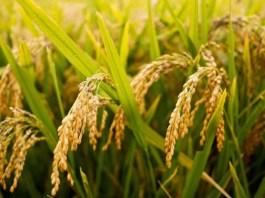 tanaman padi