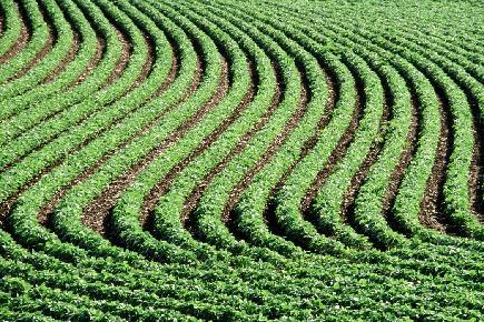 A soy bean field