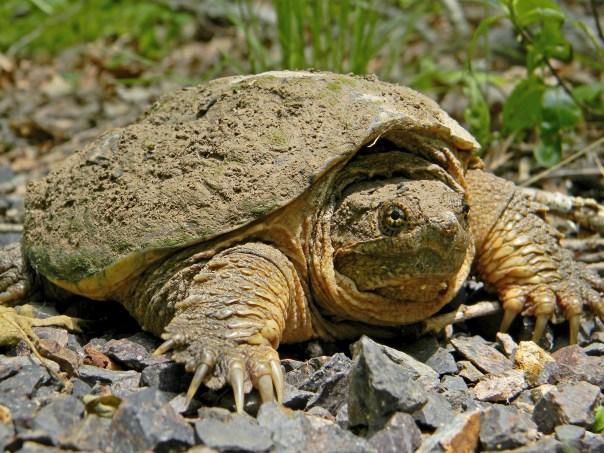 Common_Snapping_Turtle_Close_Up_Dakota_L_CC_BY-SA_FPWC