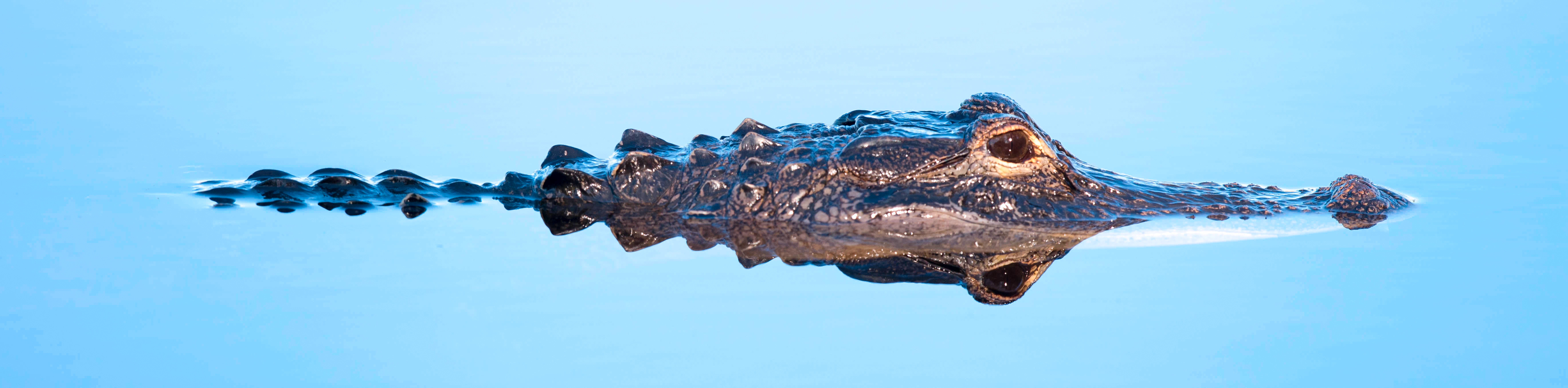 "The Alabama Alligator Harvest ""Lottery"" is Now Open!"
