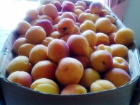 My Newcastle apricots