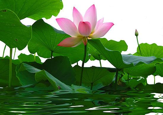 Lotus Flower Greek Mythology