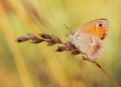 Coenonympha pamphilus, photo: Ζαραλής Χρήστος