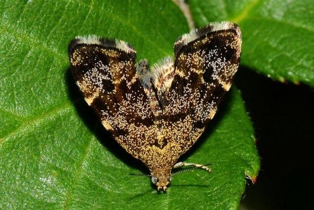 Anthophila fabriciana-photo by Elias Tselos