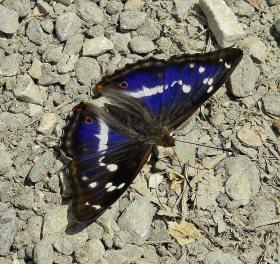 Apatura iris-photo by Xaroula Karalioliou