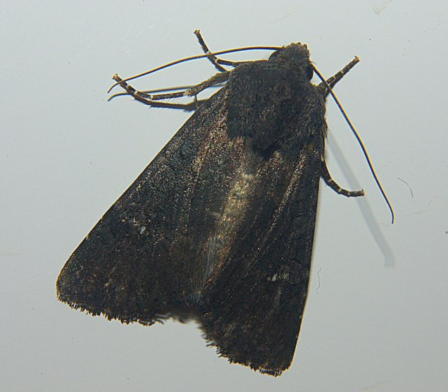 Aporophyla nigra-photo by George Fakas
