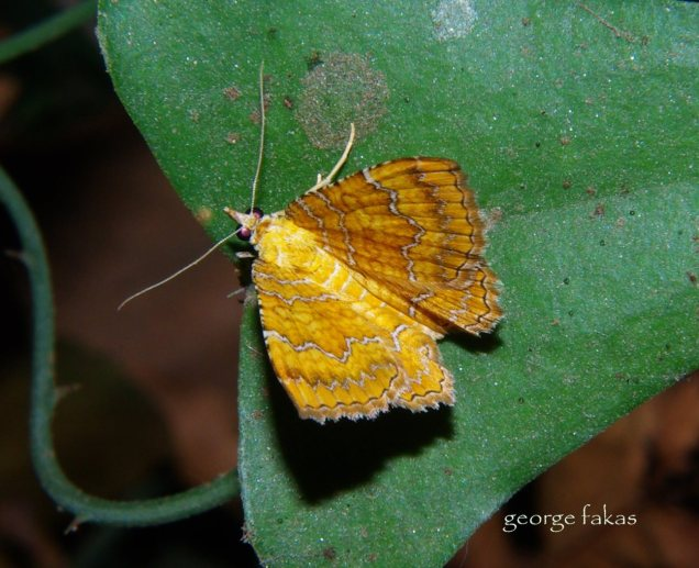 Camptogramma bilineata-photo by George Fakas