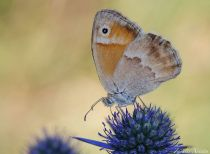 Coenonympha pamphilus-photo by Zaralis Christophe