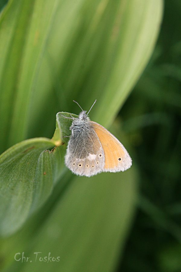 Coenonympha rhodopensis--photo by Christos Toskos