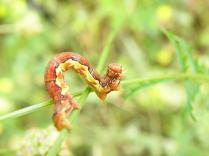 Erannis defoliaria-photo by Αθανασιος Χαραλαμποπουλος