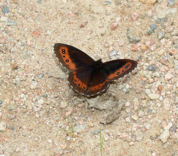 Erebia ligea-photo by George Papagiannis
