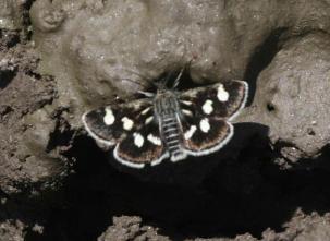 Eurrhypis pollinalis- photo by Aris Christidis