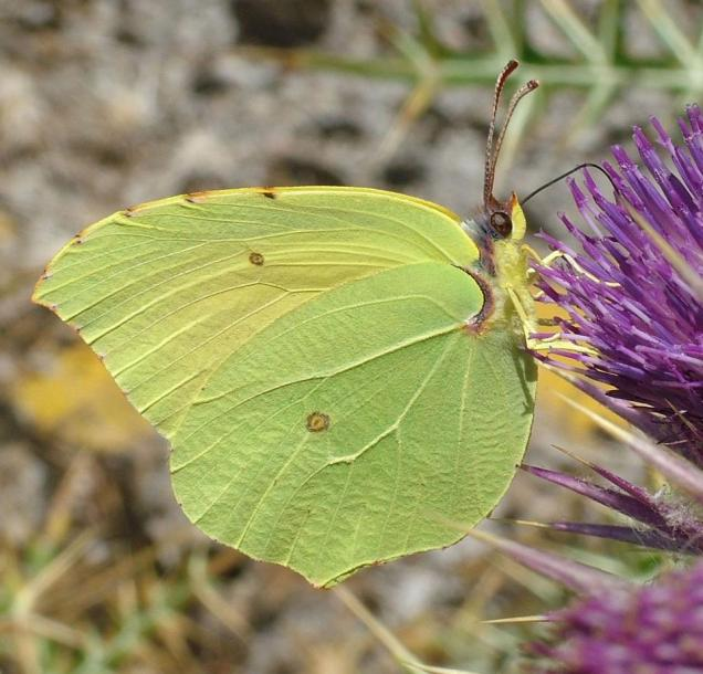 Gonepteryx cleopatra-photo by Linda Young