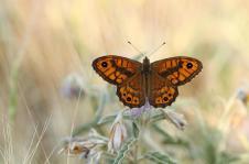 Lassiomata megera-photo by Zaralis Christophe