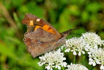 Libythea celtis-photo by Elias Tselos