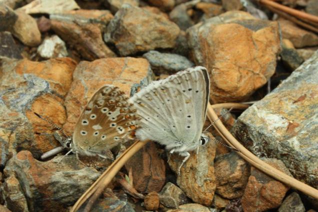 Lysandra coridon ssp. graeca- photo by Χρίστος Δημάδης