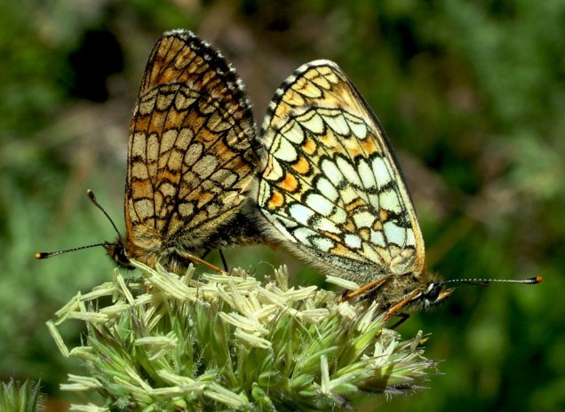 Melitaea athalia (left, F - right, M)-photo by Elias Tselos