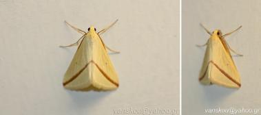 Rhodometra sacraria- photo by Vangelis Skoufakis