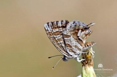 Cacyreus marshalli, Σακούλης Α., Αγ. Κυριακή Σπάτων, 120μ., 25-6-2012