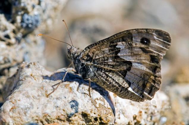 Pseudochazara anthelea