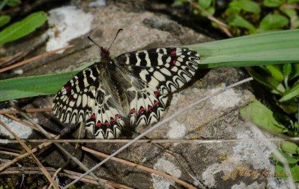 Zerynthia polyxena - θηλυκο