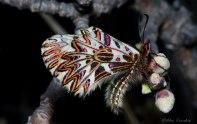 Zerynthia polyxena- female