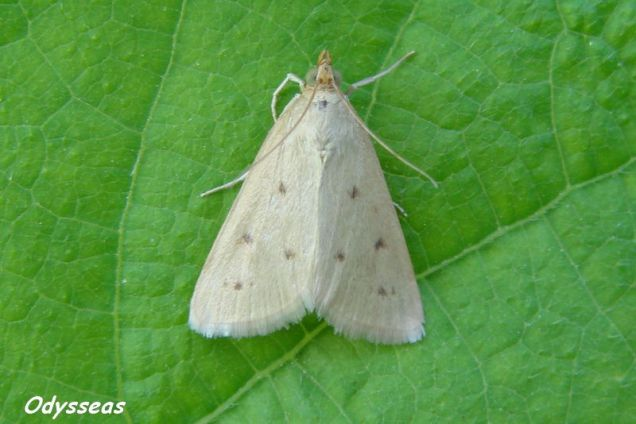 Achyra nudalis-photo by Odysseas Tsimoulis