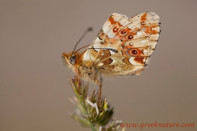 Boloria graeca- photo by Philippos Katsiyiannis