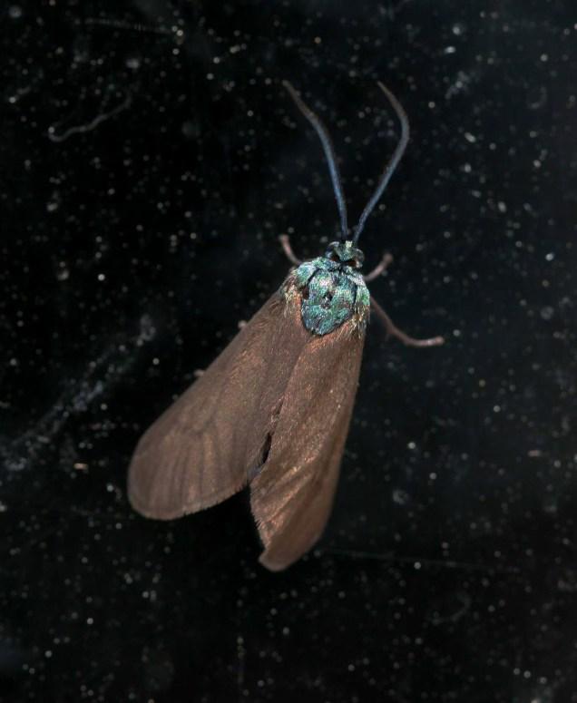 Theresimima ampellophaga- photo by Aris Christidis
