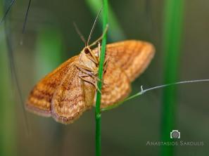 Scopula rubiginata- photo by Tassos Sakoulis