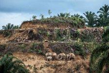 Palm-oil-survivors-©-Aaron-Gekoski-Wildlife-Photographer-of-the-Year-800x533