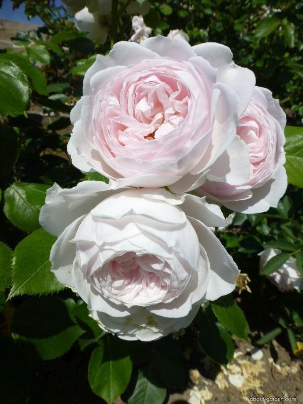 Роза флорибунда Герцогиня Кристиана / Herzogin Christiana ...
